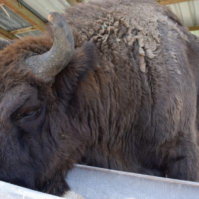 réserve de bizons