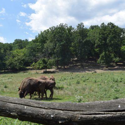 Réserve de bizons, à Hateg.