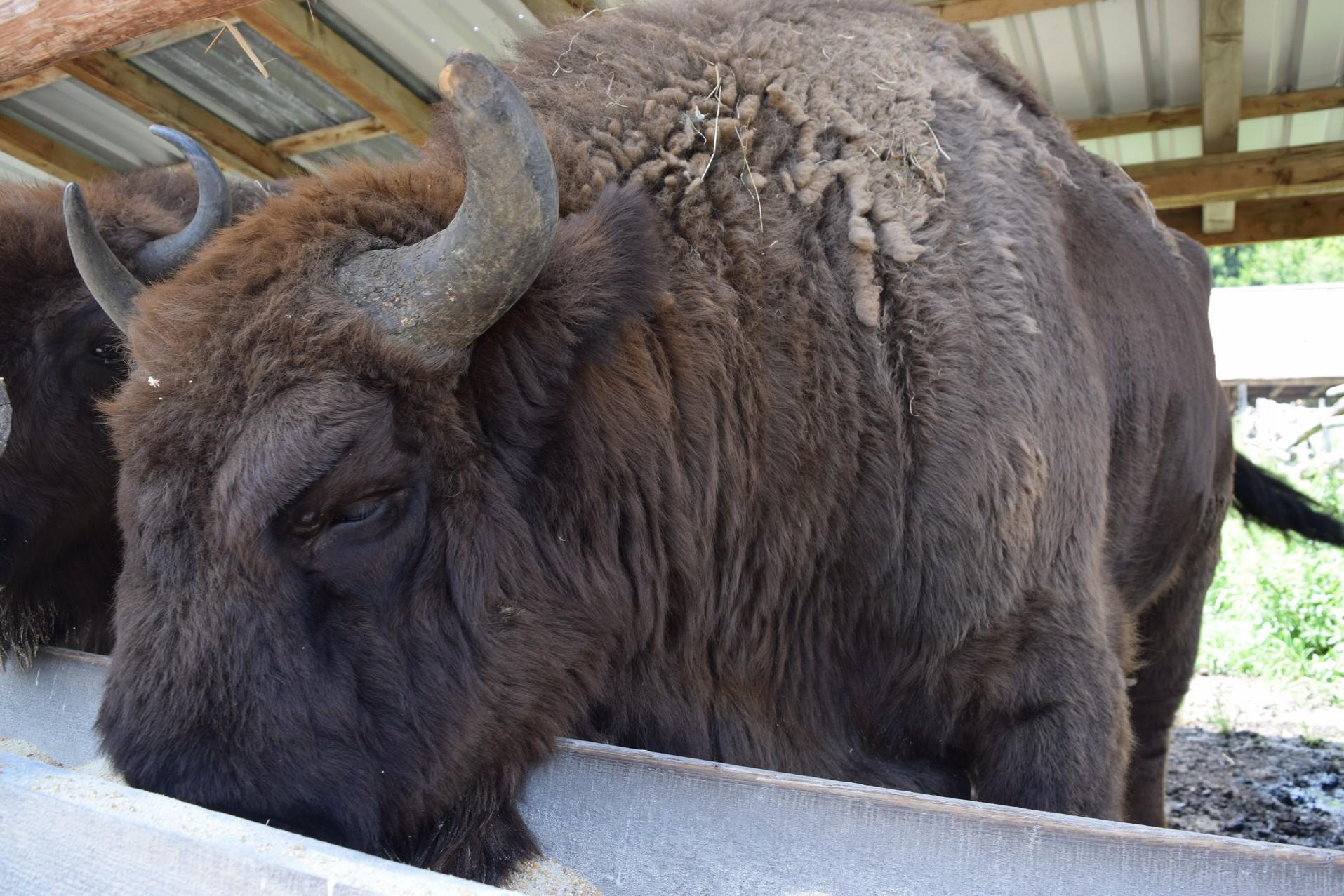 reserve de bison
