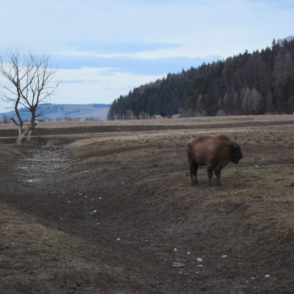 Réserve de bison à côté de Pastel Chalet.