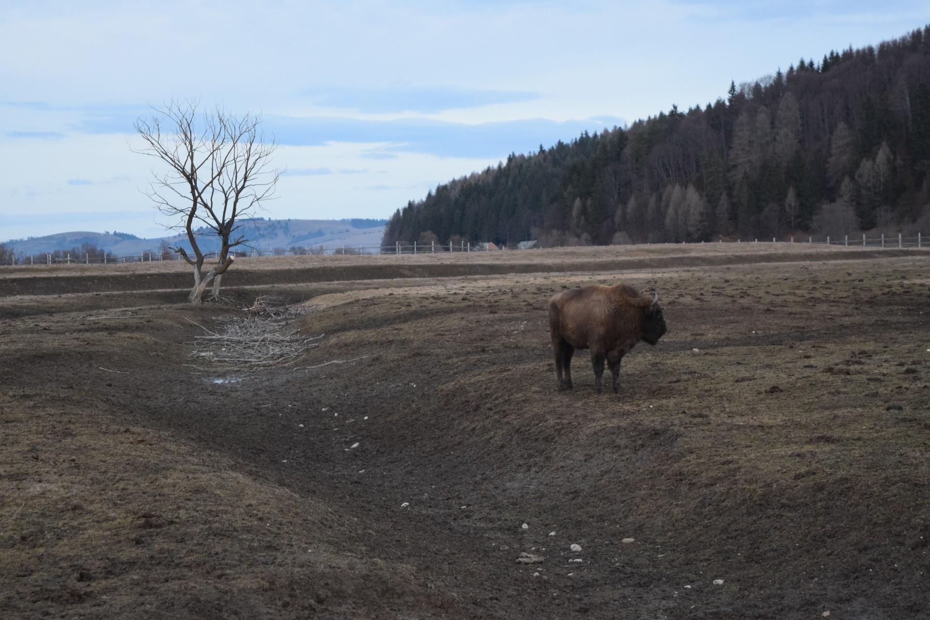 Pastel Chalet bison